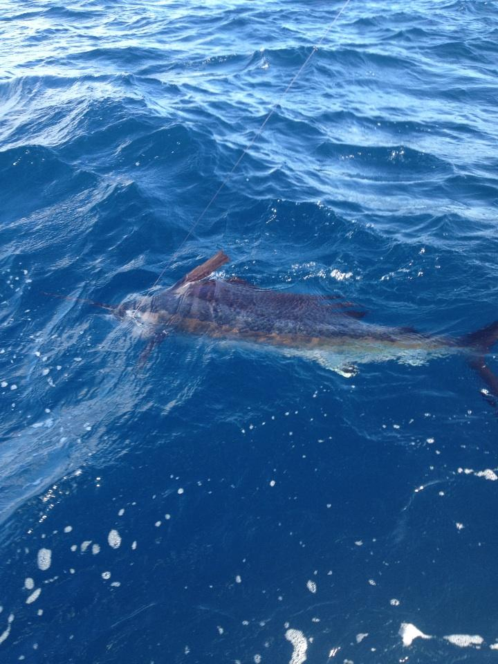 A Fall Sailfish Taken while Kitefishing in Miami