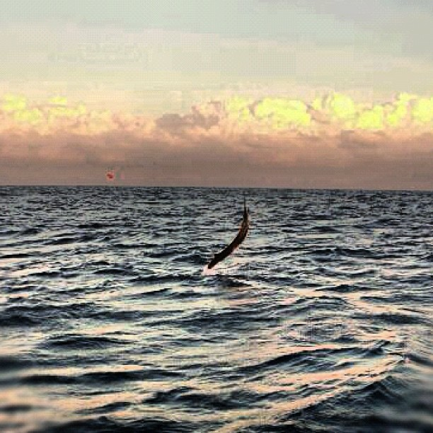 Sunset Sailfish off Miami