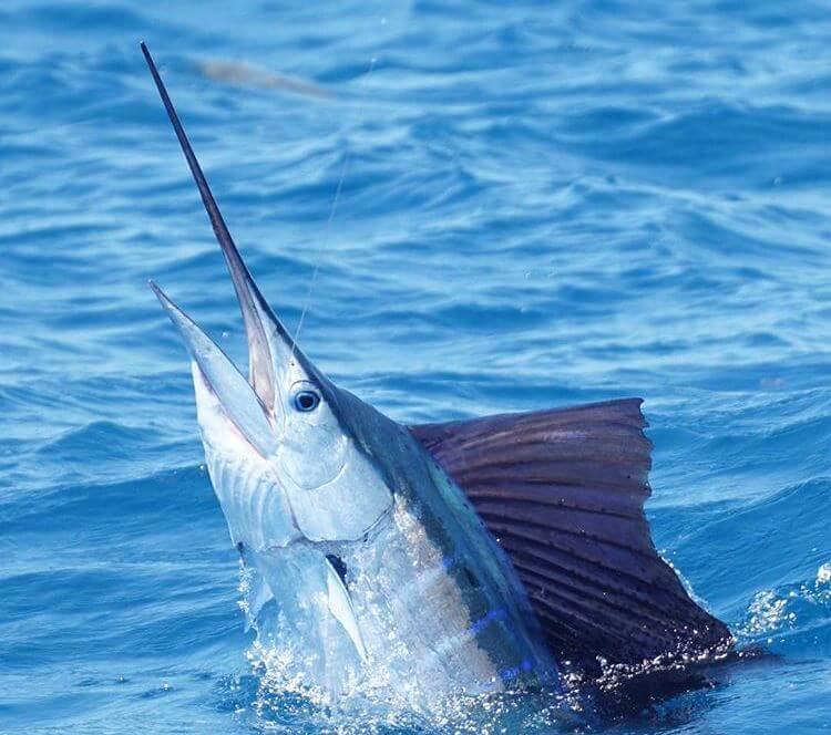 sailfish off of miami during winter