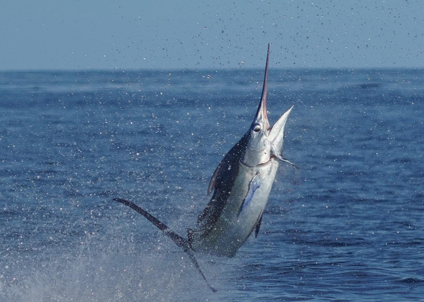 Miami Blue Marlin Jumping