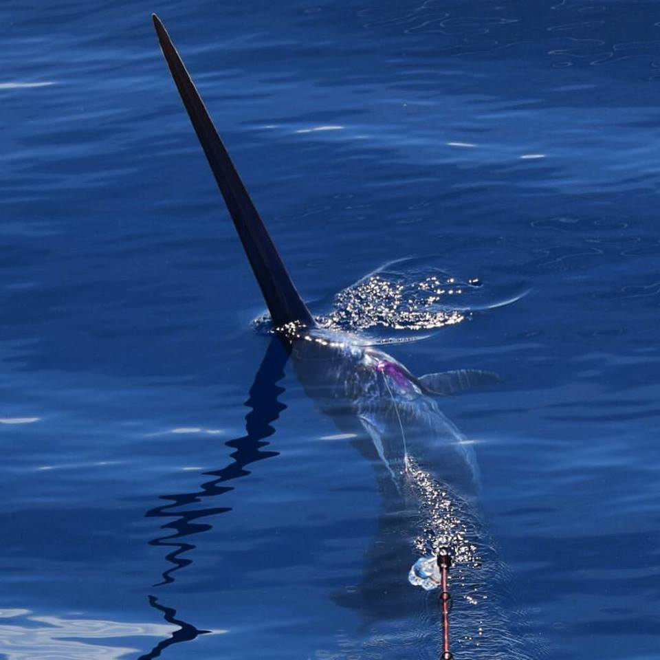 swordfish during the day