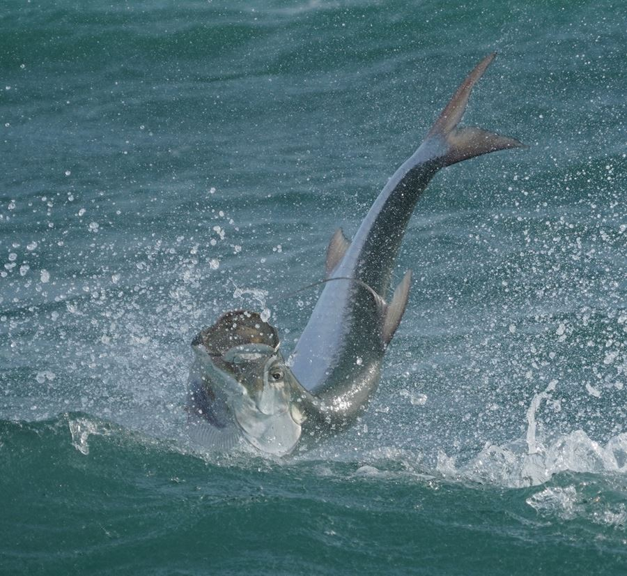 inverted tarpon