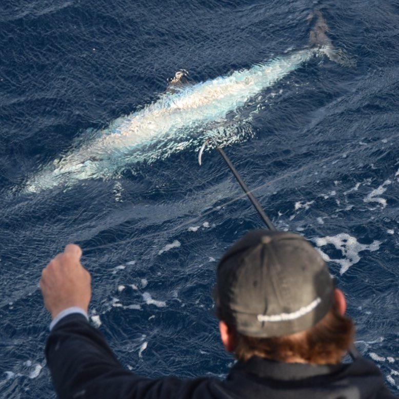 Gaffing Kingfish
