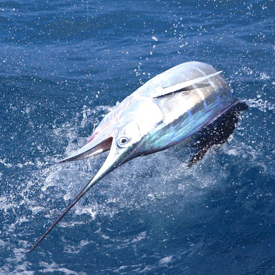 High quality sailfish photo