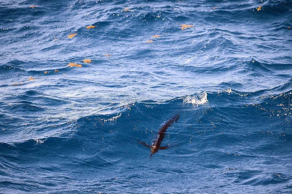 tailing sailfish