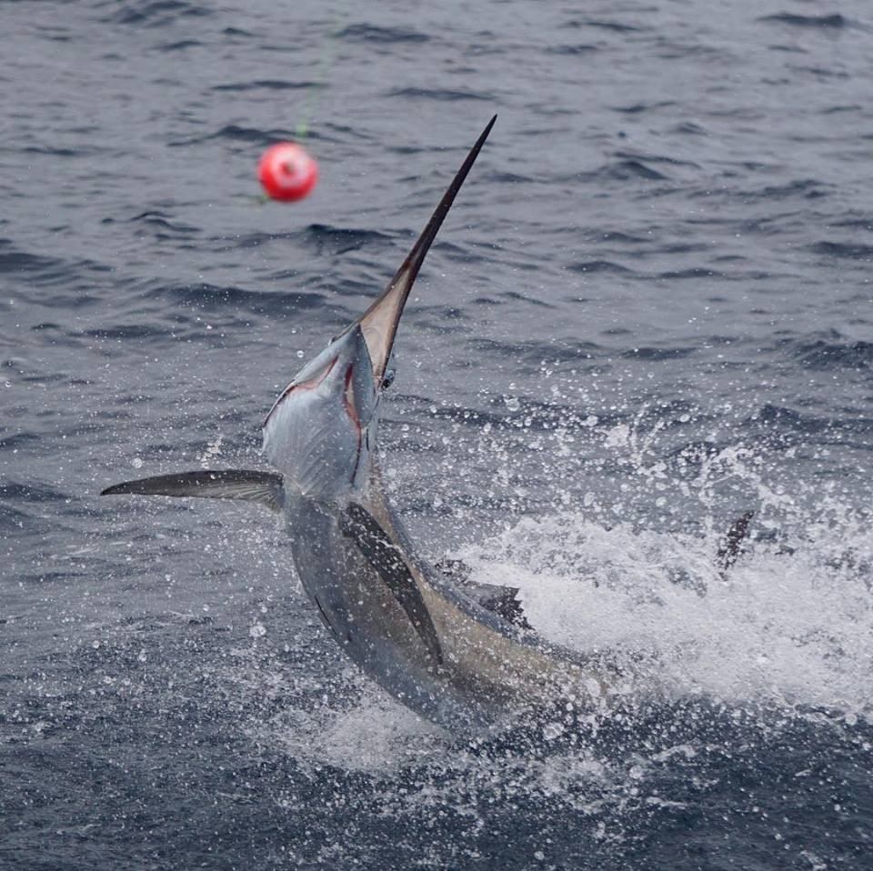 greyhounding sailfish